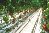 Trồng rau sạch với bông khoáng tại sao không?